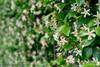 Trachelospermum asiaticum Flower Wall