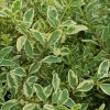 Variegated Chinese Privet Leaves Up Close Cropped