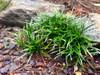 Dwarf Mondo Grass Landscaping
