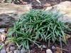 Dwarf Mondo Grass in Rocks