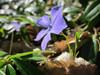 Vinca minor Blooms