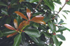 LeAnn Cleyera Leaves and Foliage