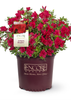 Autumn Bonfire Encore Azalea Potted