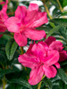 Autumn Jewel Encore Azalea Flower
