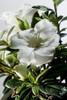 Autumn Moonlight Encore Azalea Flower