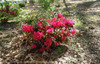 Autumn Ruby Encore Azalea Shrub