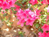 Autumn Ruby Encore Azalea Pink Flowers