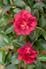 October Magic Ruby Camellia Flowers