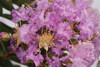 Early Bird Lavender Crape Myrtle Up Close Flowers