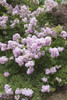 Early Bird Lavender Crape Myrtle Flowers