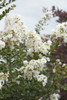 Early Bird White Crape Myrtle Blooms