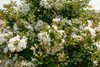 Early Bird White Crape Myrtle Shrub