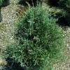 Carolina Sapphire Arizona Cypress Cropped