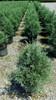 Rows of Carolina Sapphire Arizona Cypress