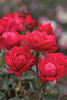 Red Double Knockout Rose Flowers