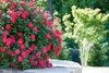 Red Double Knockout Rose Bloom in Landscaping