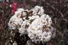Lagerstromia indica 'Delea' White Flowers