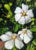 Hardy Daisy Gardenia White Blooms