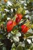 Heaven Scent Gardenia Flower Buds