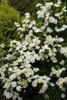 Heaven Scent Gardenia White Flowers