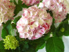 Ravel Hydrangea with leaves
