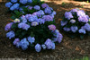 Let's Dance Blue Jangles Hydrangea Shrub Covered in Flowers