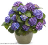 Let's Dance Blue Jangles Hydrangea in Garden Planter