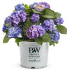 Let's Dance Blue Jangles Hydrangea in Branded Pot 1