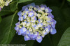 Let's Dance Blue Jangles Hydrangea With Blue and White Flower