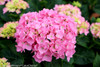 Pink Let's Dance Blue Jangles Hydrangea Flower