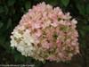 Bobo Hydrangea Flower Up Close