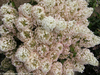 White and Pink Bobo Hydrangea Blooms