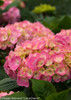 Let's Dance Big Easy Hydrangea Flower Pedals