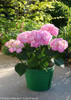 Let's Dance Big Easy Hydrangea in Garden Planter