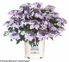 Let's Dance Diva Hydrangea in Branded Pot