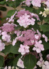 Pink Let's Dance Diva Hydrangea Flowers Close Up