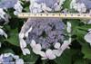 Blue Let's Dance Diva Hydrangea Flowers