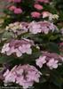 Pink Let's Dance Diva Hydrangea Lacecap Blooms