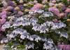 Blue Lacecap Let's Dance Diva Hydrangea Flowers