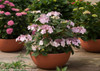 Let's Dance Diva Hydrangea Growing in Garden Planter