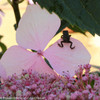 Lacecap Let's Dance Diva Hydrangea With Frog on Petal