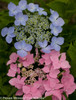 Pink and Blue Let's Dance Starlight Hydrangea Flowers