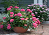 Let's Dance Starlight Hydrangea in Garden Bowl Planter