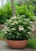 Small Let's Dance Starlight Hydrangea in Garden Pot