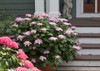 Let's Dance Starlight Hydrangea in Pot Next To Porch