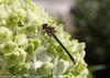 Gatsby Gal Hydrangea Flower With Dragonfly