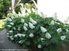 Gatsby Gal Hydrangea Hedge Next To House