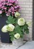 Gatsby Moon Hydrangea in Garden Container