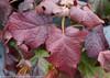 Gatsby Moon Hydrangea Fall Foliage