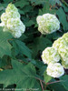 Gatsby Moon Hydrangea Foliage and Blooms